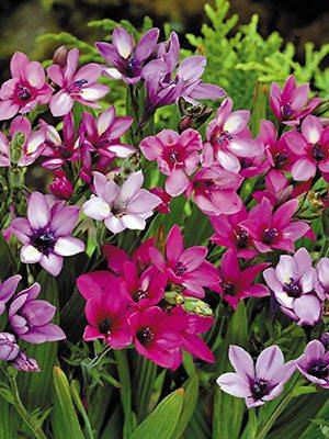Бабиана прямая Kew Hybrids (5 шт) - 1