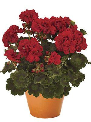 Пеларгония зональная Savannah Really Red (1 шт) - 1
