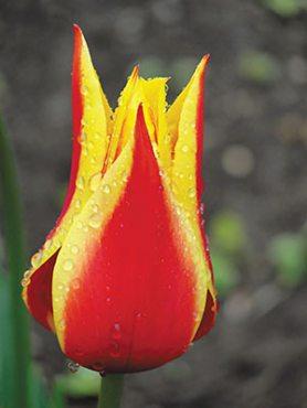 Тюльпани Лілієцвітні Synaeda King 1112 (3 шт)