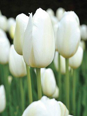 Тюльпаны Простые поздние Catherina 1011 (100 шт)