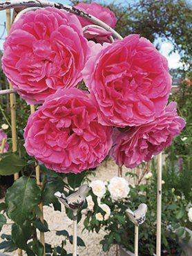 Роза в'юнка Pink Cloud (1 шт)