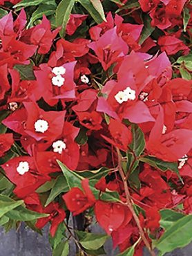 Бугенвиллея Vera Red (1 шт)
