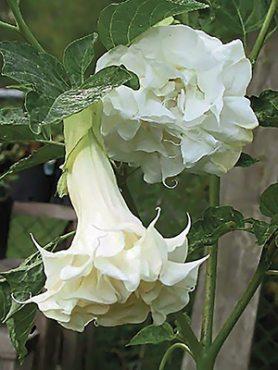 Бругмансия Double White (1 шт)