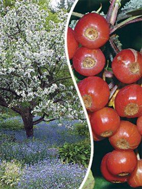 Яблоня Зибольда (1 шт)