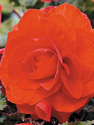 Бегония клубневая махровая, оранжевая (1 шт) - 1