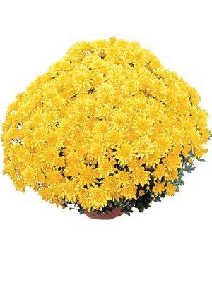 Хризантема мелкоцветковая низкорослая Precocita Cristal (3 шт) - 1