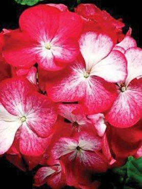 Пеларгонія зональна Pinto Bicolor F1, червона c білим (5 шт)