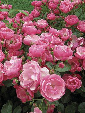 Роза шраб Angela(1 шт)
