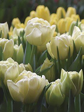 Тюльпаны Махровые ранние Avant Garde 1011 (3 шт)