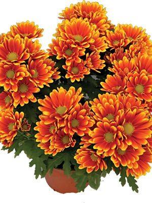 Хризантема горшечная Ipsili (3 шт) - 1