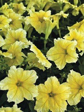 Петуния крупноцветковая Миледи F1, интенсивно-желтая (100 шт)