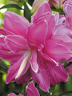 Лілія (Східні гібриди) Lotus Wonder 12/14 (20 шт)