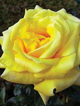 Роза чайно-гибридная Landora(1 шт)