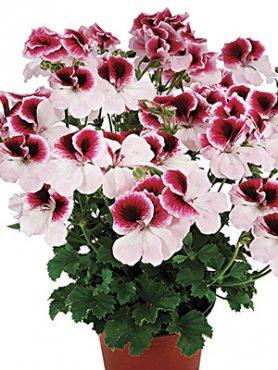 Пеларгония королевская Graziosa Bicolor (1 шт)