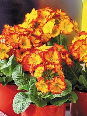 Первоцвіт високий полонинський Sibel Scarlet F1 - 1