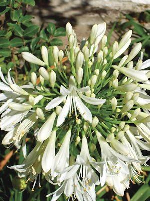 Агапантус, или нильская лилия белый (1 шт) - 1