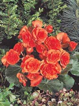 Бегония красивоцветущая (зимняя) Charisma, алая (6 шт)
