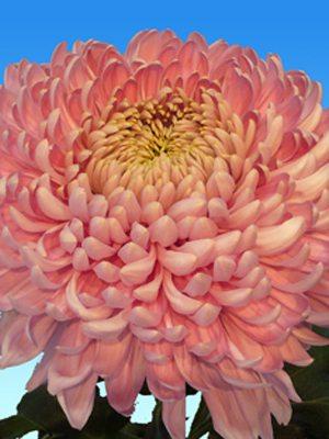 Хризантема срезочная Holiday Pink (3 шт) - 1