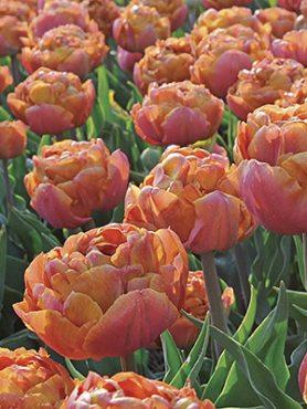 Тюльпаны Махровые ранние Brownie 1112 (3 шт)