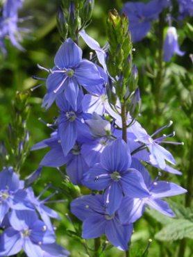 Вероника большая Великолепная синева, синяя (30 шт)