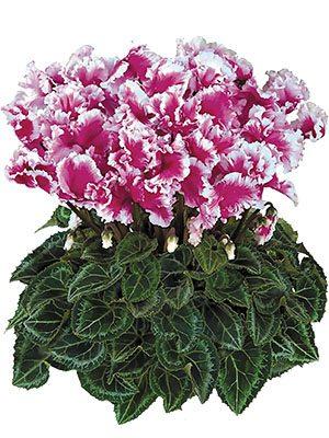 Цикламен крупноцветковый Friola Violet F1 (1 шт) - 1