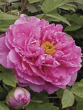 Півонія деревовидна Pink Water-lily (1 шт)