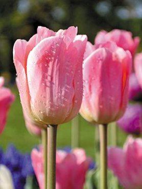 Тюльпаны Простые ранние Beauty Queen 1011 (3 шт)