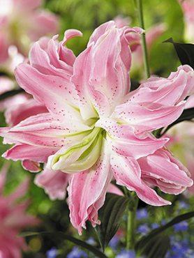 Лілія (Східні гібриди) Lotus Elegance 12/14 (20 шт)