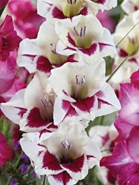 Гладиолус садовый Flevo Fiero (5 шт)