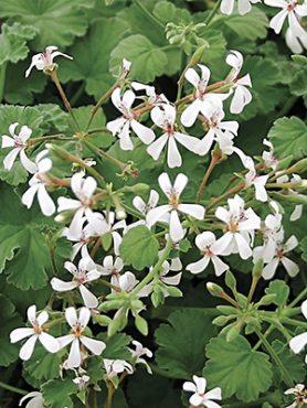 Пеларгония ароматнейшая (1 шт)