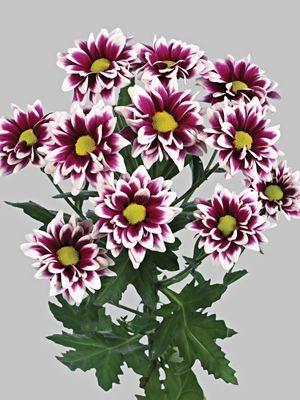 Хризантема срезочная Handsome (3 шт) - 1