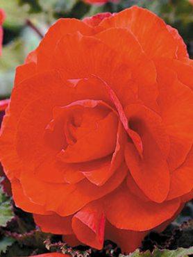 Бегония клубневая махровая, оранжевая (1 шт)