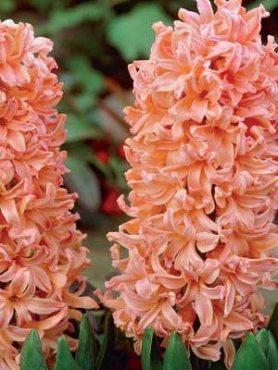 Гіацинт садовий Gipsy Queen 1415 (20 шт)