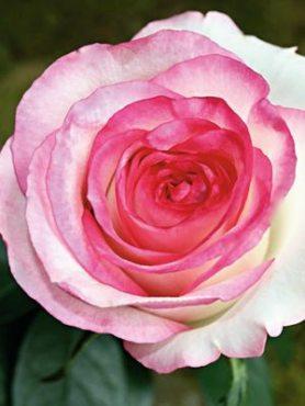 Роза чайно-гибридная Dolce Vita (1 шт)