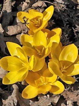 Шафран жовтий Geel 78 (100 шт)