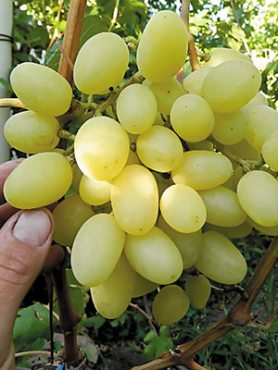 Виноград Конвалія(1 шт)