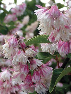 Дейция шершавая ф. махровая розовая (1 шт)