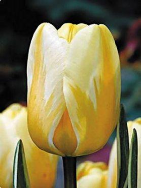 Тюльпаны Дарвиновы гибриды Jaap Groot 1112 (3 шт)
