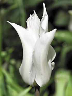 Тюльпаны Лилиецветные Tres Chic 1112 (3 шт)