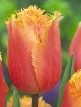 Тюльпаны Бахромчатые Lambada 1112 (3 шт)