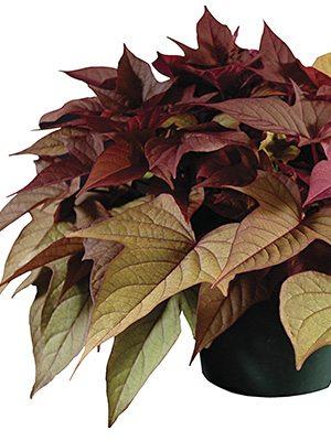 Ипомея (батат) FloraMia Rusty Red (3 шт) - 1