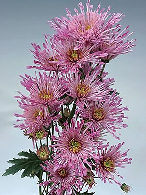 Хризантема срезочная Annecy Dark (3 шт) - 1