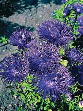 Айстра китайська голчаста Унікум Parsifal, пурпурно-фіолетовий (0,5 г)