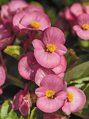 Бегонія вечноцветущая Sprint Plus Rose (10 шт) - 1