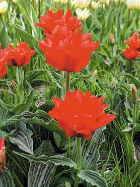 Тюльпаны Грейга Dubbele Roodkapje 1011 (3 шт)