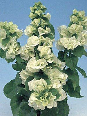 Бугенвилея Vera White (1 шт) осень - 1