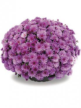 Хризантема дрібноквіткова низькоросла Bransound Purple (9 шт)