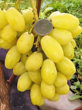 Виноград Бананас (1 шт)