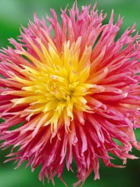 Жоржина кактусова бахромчата Fringed Star (1 шт)