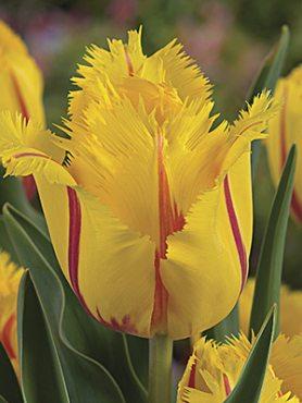 Тюльпаны Бахромчатые Flamenco 1112 (3 шт)